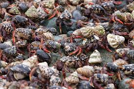hermit-crab-migration