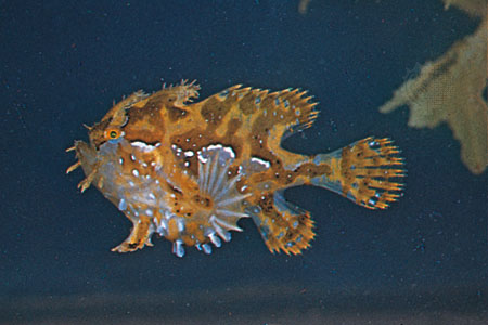 sargassum-fish-live