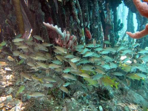 mangrove-fish