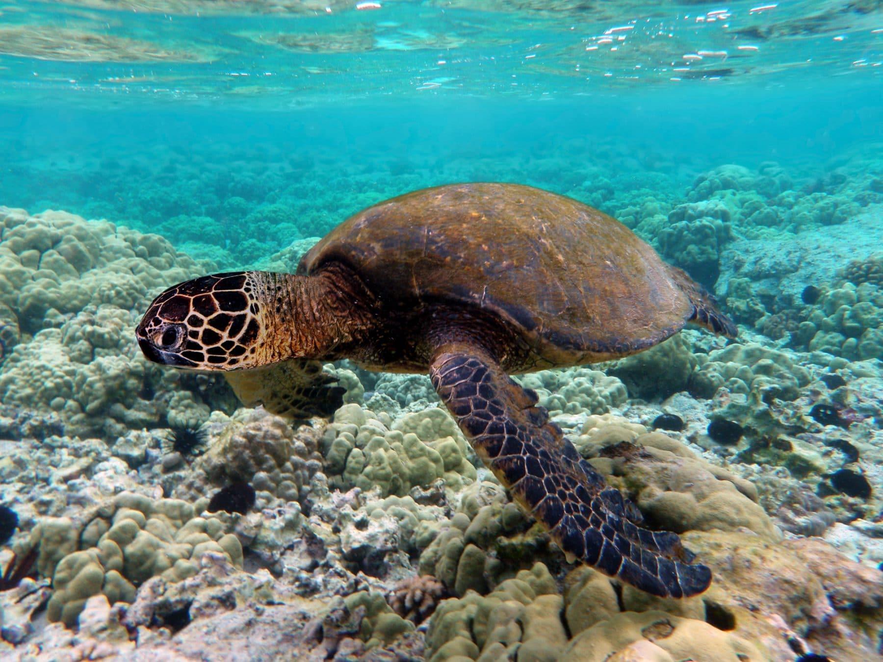 Green Sea Turtle swimming over coral