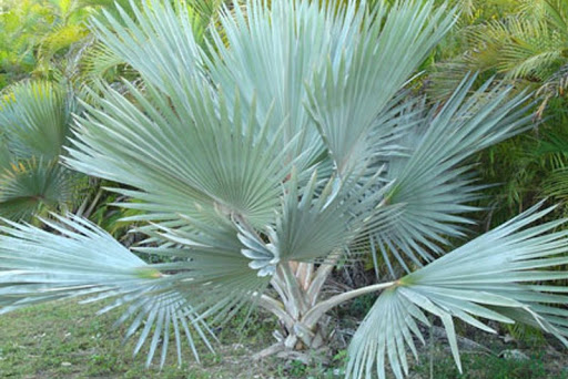 blue latan palm