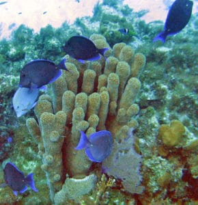blue tang coral reef