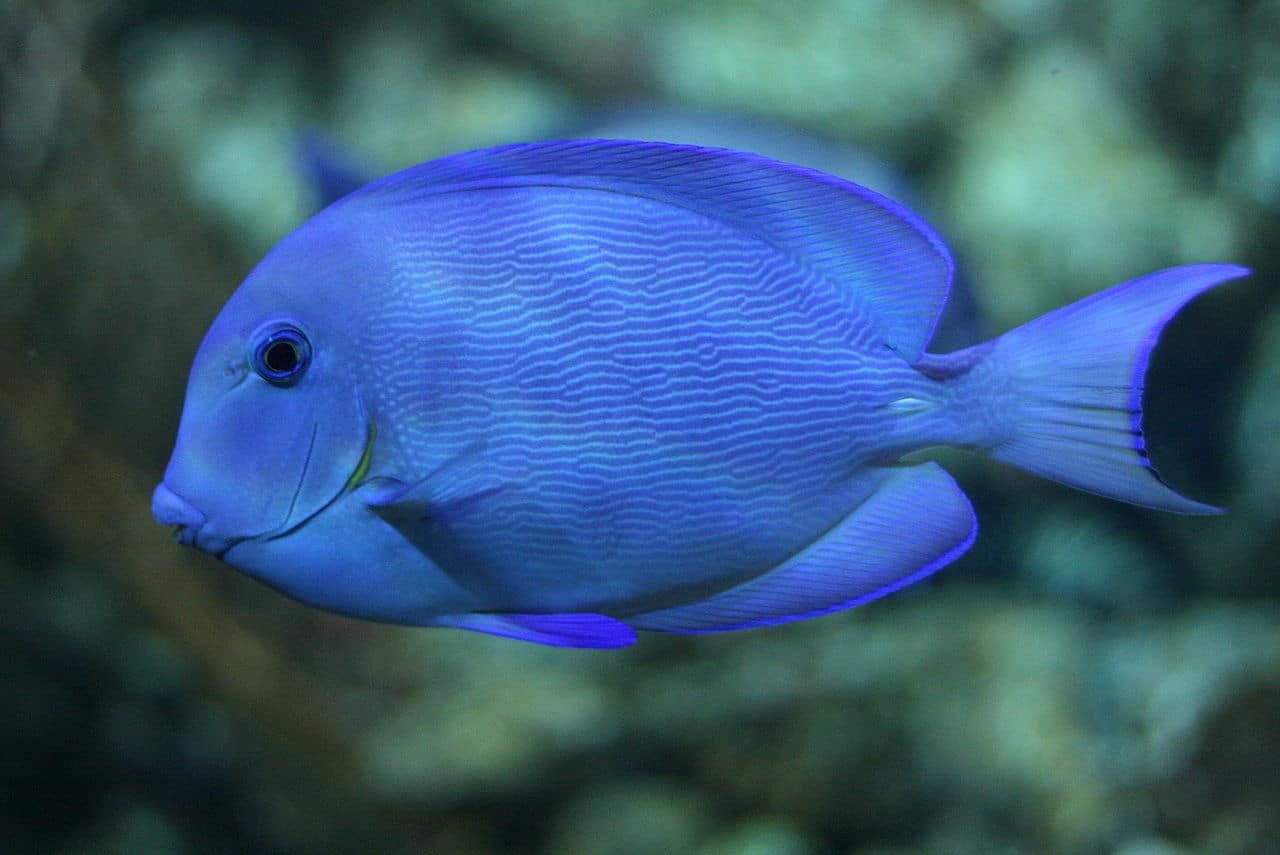 blue-tang-adult