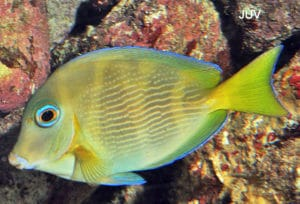 blue-tang-juvenile