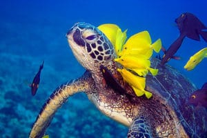 green-sea-turtle-yellow-tang-cleaning