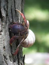 st. john hermit crab