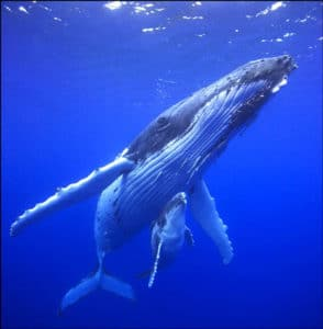 adult humpback whale calf