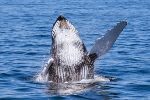 Humpback whale hello
