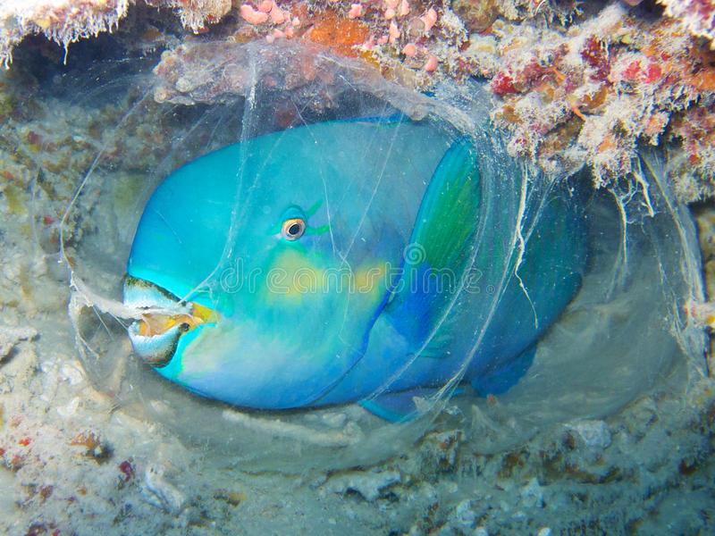 parrotfish belch sleep