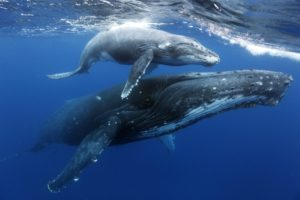 humpback whale adult + calf